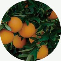 anming ボタニカル 日本香堂 オレンジ